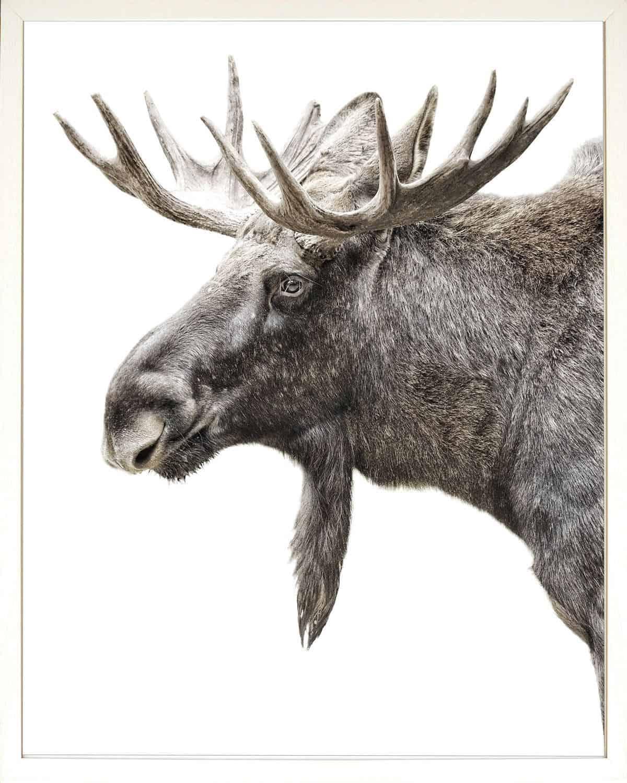 Algonquin Moose Print